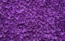 Phalaenopsis, muchas flores de color púrpura de fondo