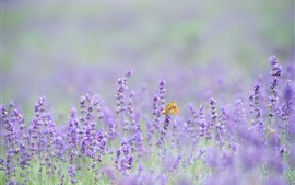 Preview wallpaper Pink lavender flowers, butterfly, hazy