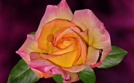 Pétales orange rose, rose