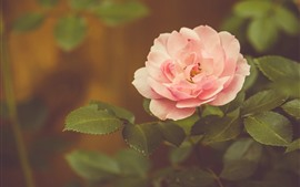 Pink rose, hazy background