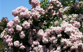Preview wallpaper Pink roses, shrubs