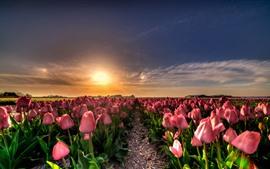 Campo de tulipanes rosados, puesta de sol