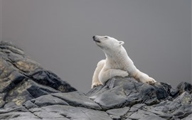 Preview wallpaper Polar bear, head, rock