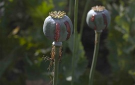 Preview wallpaper Poppy seeds
