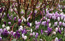 Preview wallpaper Purple and white crocuses