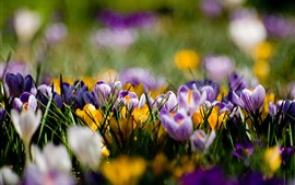 Preview wallpaper Purple and yellow crocuses, spring
