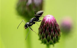 Preview wallpaper Purple flower bud, ant