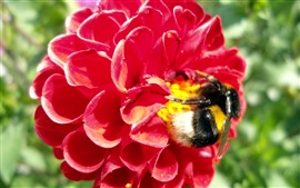 Red dahlia, bee