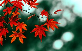 Preview wallpaper Red maple leaves, hazy, autumn