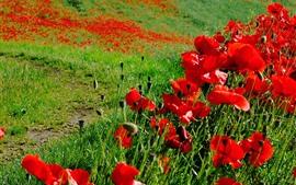 Papoilas vermelhas, grama, verão