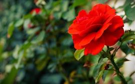Rosa roja de cerca, pétalos, brujería