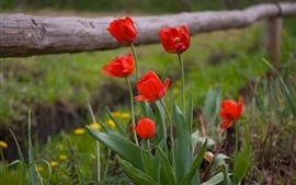 Tulipas vermelhas, folhas verdes, natureza
