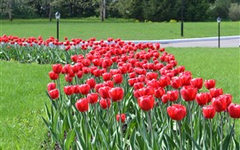 Red tulips, park flowers