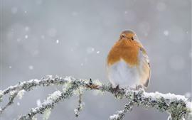 Robin, bird, snow, winter, tree branch