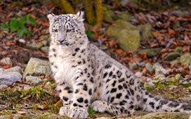 Preview wallpaper Snow leopard cub sit on ground
