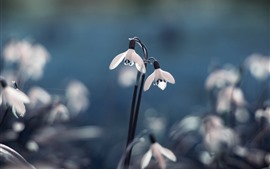 Preview wallpaper Snowdrop, flowers, hazy background