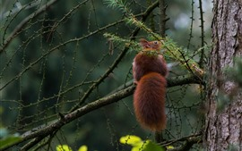 Preview wallpaper Squirrel, tail, tree