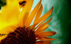Sunflower close-up, petals, hazy background