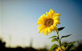 Preview wallpaper Sunflower, yellow petals, hazy background