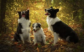 Três, cachorros, árvores, outono