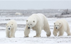 Preview wallpaper Three polar bears, snow