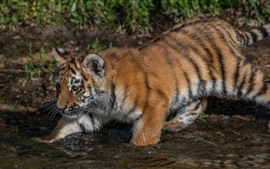 Preview wallpaper Tiger cub walk in to water