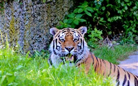 Preview wallpaper Tiger rest, face, teeth, grass, wildlife