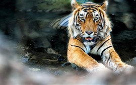 Preview wallpaper Tiger rest in the water, face, front view