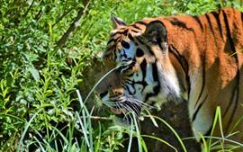 Tigre, animais selvagens, arbustos