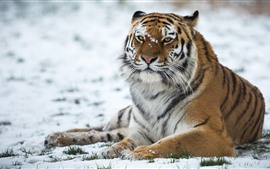 Preview wallpaper Tiger, wildlife, snow, winter