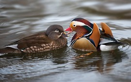 Preview wallpaper Two mandarin ducks, water