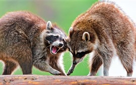 Two raccoons, wildlife