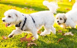 Dos perros blancos caminan sobre la hierba