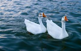 Deux cygnes blancs, eau, lac