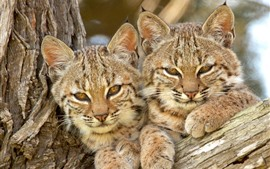 Preview wallpaper Two wild cats, lynx, together