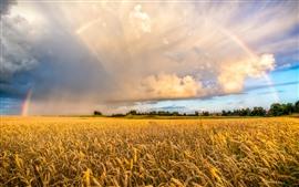 Campo trigo, arco íris, nuvens, campo