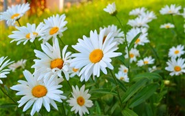 Preview wallpaper White chamomile flowers, petals, summer