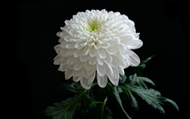 Preview wallpaper White chrysanthemum, petals, black background
