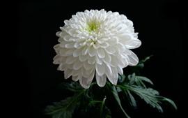 Белая хризантема, лепестки, черный фон