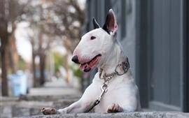 Cão branco, animal de estimação