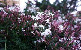 Pequeñas flores blancas, cogollos rosados