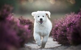 Cachorro blanco corriendo, flores de lavanda púrpura