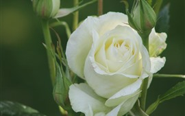 Preview wallpaper White rose, petals, green background