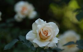 Aperçu fond d'écran Rose blanche, pétales, fond brumeux