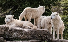 Preview wallpaper White wolf family