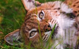 미리보기 배경 화면 야생 고양이, 살쾡이, 얼굴, 수면, 잔디