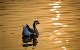 Preview wallpaper Wild goose, pond, glare