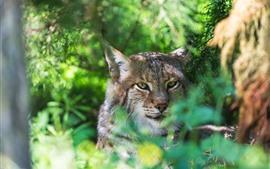 Wildcat, bosque, fondo verde