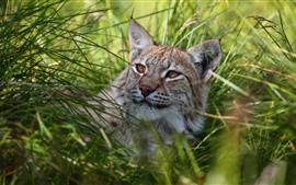 Wildcat, lynx, grass, rest