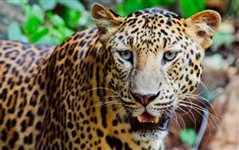 미리보기 배경 화면 야생 동물, 표범, 얼굴, 코, 이빨, 눈